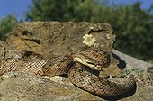 Southern smooth snake on rocks ; Portugal, Spain, S.France, Italy, N.Africa