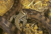 Southern smooth snake eating a Wall Lizard ; Portugal, Spain, S.France, Italy, N.Africa