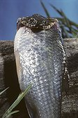 Portrait of a Viperine snake eating fish ; Portugal, Spain, France, Italy, Switzerland and Maghreb.