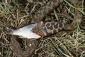 Viperine snake eating fish ; Portugal, Spain, France, Italy, Switzerland and Maghreb.