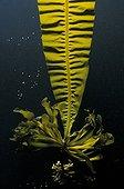 Brown algae Alaria esculenta on blackbackground