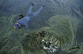 Diver above Laminaria and Himanthales France