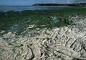 Green tide in Saint-Michel-en-Greve Britain France