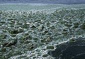 Green tide in Guisseny Britain France