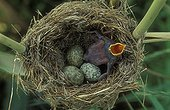 Common Cuckoo chick in Eurasian Reed-warbler Nest UK