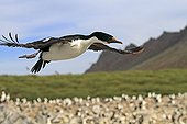 King Shag on filght Falkland Islands