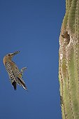 Gila Woodpecker landing at nest in Saguaro cactus with food