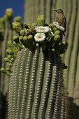 Gila Woodpecker feeding on Saguaro cactus blossoms USA