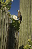 Gila Woodpecker feeding on nectar and insects in the Saguaro