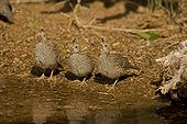 Young Gambel's Quail drinking from temporary pool USA