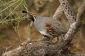 Gambel's Quail male perched on branch Arizona USA