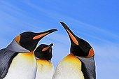 King Penguins Parade Falkland Islands