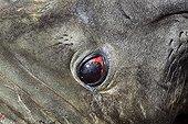 Regard d'Eléphant de mer austral mâle Iles Malouines