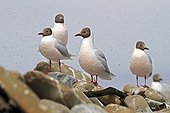 Brown-headed Gulls on rock Falkland Islands