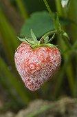 Powdery mildew on a strawberry in a kitchen garden
