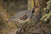 Gambel's Quail male in Arizona USA