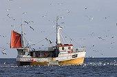 HERRING GULLS ; Herring Gulls Larus argentatus around fishing trawler off the northern tip of Arctic Norway March