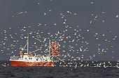 SEA GULLS ; Gulls mainly Herring Gulls following fishing trawler at mouth of Varanger Fjord Arctic Norway March