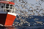 SEA GULLS ; Gulls mainly Herring Gulls following fishing trawler at mouth of Varanger Fjord Arctic Norway March