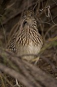 Greater Roadrunner swallowing a rodent Arizona USA