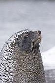 Antarctic Fur Seal ; Antarctic Fur Seal Arctocephalus gazella South Georgia October