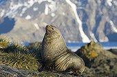 Antarctic Fur Seal ; Antarctic Fur Seal Arctocephalus gazella beachmaster South Georgia November