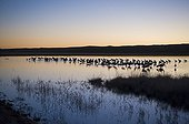 Sandhill Cranes ; Sandhill Cranes Grus canadensis on roosting pond Bosque Del Apache New Mexico USA January