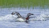 RED-THROATED DIVER ; RED-THROATED DIVER (Gavia stellata) adult returning to breeding pool with fish for young, Finland, July