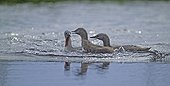 RED-THROATED DIVER ; RED-THROATED DIVER (Gavia stellata) with young on pool Finland July