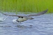 RED-THROATED DIVER ; RED-THROATED DIVER (Gavia stellata) adult taking off from breeding pool, Finland, July
