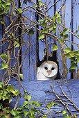 BARN OWL ; BARN OWL Tyto alba peering from barn door Kent UK