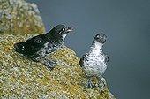 LEAST AUKLETS ; LEAST AUKLETS Aethia pusilla St Paul Island Pribilof Islands Alaska August