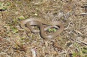 SMOOTH SNAKE ; SMOOTH SNAKE (Coronella austriaca) Dorset summer