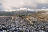 REINDEER ; REINDEER on Cairngorm Scottish Highlands winter