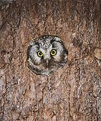 TENGMALM'S OWL ; TENGMALM'S OWL Aegolius funereus peerting from tree nest hole Finland may