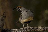 Gambel's Quail male on cactus branch with female on side