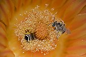 Digger Bee on fishhook barrel cactus blossum Arizona USA ; Taking nectar from fishhook barrel cactus blossum - Carries pollen to other blossoms thereby pollinatiing them