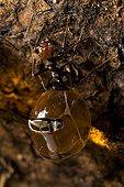 Honey Pot Ants with engorged gasters Arizona USA