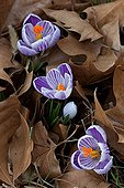 Crocus in bloom in a garden