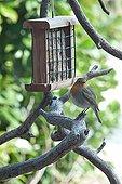European robin and feeding dish on a tree in a garden