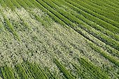 Field of Barley invaded by Matricaria France ; Weed Problem