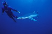 Diver and Blue shark swimmingSouth Africa