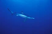 Blue shark swimming off the Cape of Good HopeSouth Africa