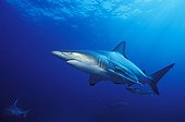 Blacktip Sharks swimming South Africa Indian Ocean