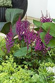 Astilbe Visions in Red, Hosta Krossa Regal, Alchemilla mollis, Canna indica