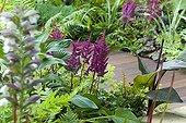 Astilbe Visions in Red, Hosta Krossa Regal, Canna indica