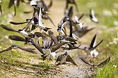 Northern House-martins collecting mud for nestsSpain