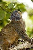 Red-collared lemur female on branch Madagascar