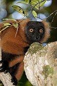 Red Ruffed Lemur on a branch Masoala NP Madagascar