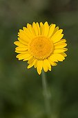Yellowhead flower Stara Planina Central Balkan NP Bulgaria